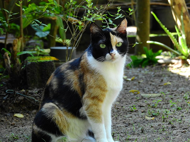 Calico Cat – 10 Fun Facts about Calico Cats